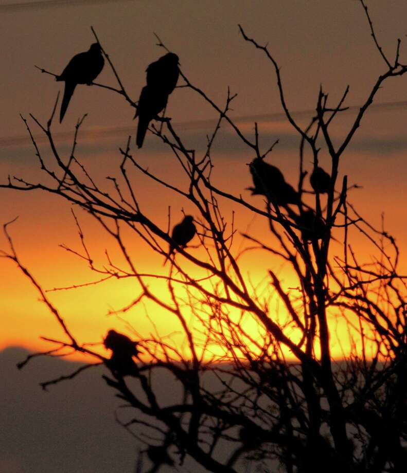 Sept. 1 marks the opening of dove hunting season in much of the state.   Photo by Shannon Tompkins Wingshooters often can  locate potentially good winter-season dove fields by looking for concentrations of mourning doves resting or roosting on the winter-stripped limbs adjacent to feeding areas. Houston Chronicle photo by Shannon Tompkins Photo: Picasa