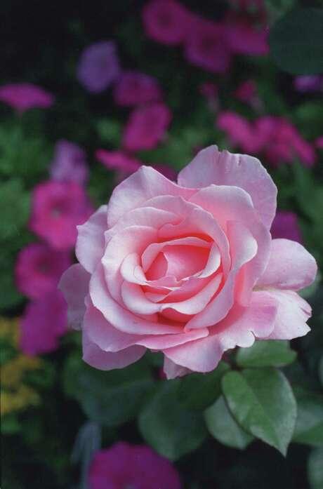 A late summer application of fertilizer will benefit roses. Photo: John Everett, Staff / Houston Chronicle