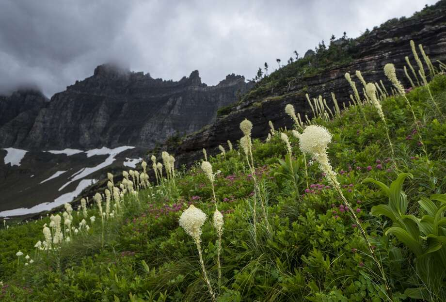 Beargrass lines the Iceberg Lake trail in Glacier National Park. Photo: Joshua Trudell, For The Express-News