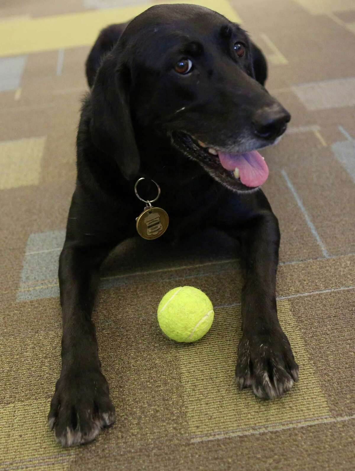 Kai, the San Antonio Fire Department's accelerant detection canine, lies on the floor with a tennis ball, one of her favorite toys, on Friday, July 25, 2014, at the San Antonio Public Safety Headquarters. Kai, a 6-year-old female labrador retriever, began working with Arson Investigator Justin Davis in July 2010 and always accompanies him at the office.