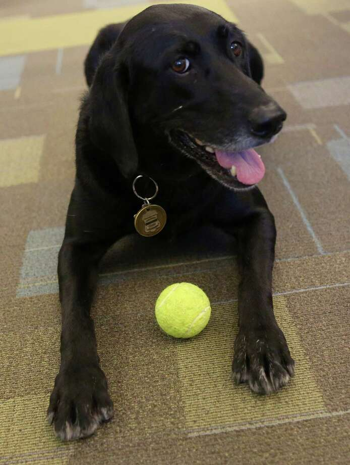 Kai, the San Antonio Fire Department's accelerant detection canine, lies on the floor with a tennis ball, one of her favorite toys, on Friday, July 25, 2014, at the San Antonio Public Safety Headquarters. Kai, a 6-year-old female labrador retriever, began working with Arson Investigator Justin Davis in July 2010 and always accompanies him at the office. Photo: Timothy Tai, San Antonio Express-News / © 2014 San Antonio Express-News