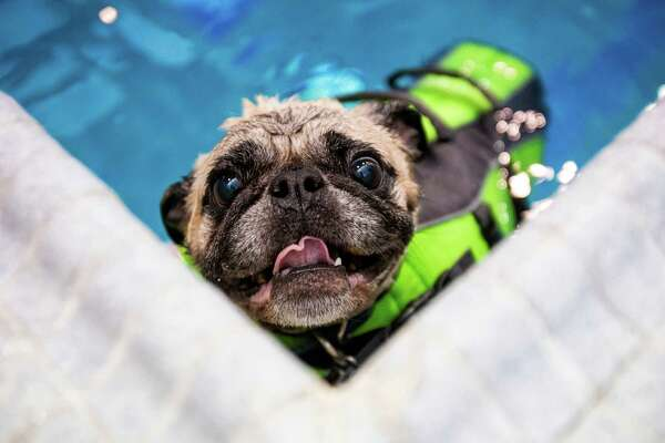 Despite flotation equipment, Oscar the pug struggles to enjoy the merits of the waters of Helene Madison Pool during an open dog swim - with no humans allowed - on Sunday, August 17, 2014, in Seattle, Wash. The unlikely event was made possible by the impending pool closure for preventive maintenance. The facility will reopen to the public on September 1, 2014.
