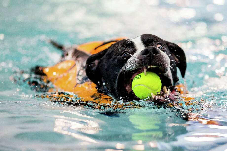 Ony the dog makes a pass at a floating tennis ball in the waters of Helene Madison Pool during an open dog swim - no humans allowed - on Sunday, August 17, 2014, in Seattle, Wash. The unlikely event was made possible by the impending pool closure for preventive maintenance. The facility will reopen to the public on September 1, 2014. Photo: JORDAN STEAD, SEATTLEPI.COM / SEATTLEPI.COM