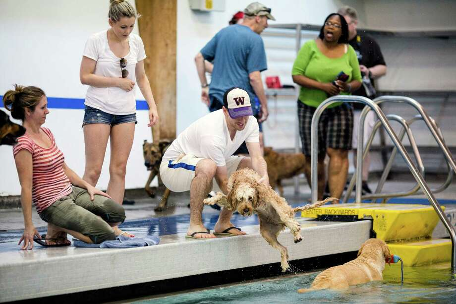 Owners lower their less-than-excited canines into the waters of Helene Madison Pool for an open dog swim - no humans allowed - on Sunday, August 17, 2014, in Seattle, Wash. The unlikely event was made possible by the impending pool closure for preventive maintenance. The facility will reopen to the public on September 1, 2014. Photo: JORDAN STEAD, SEATTLEPI.COM / SEATTLEPI.COM