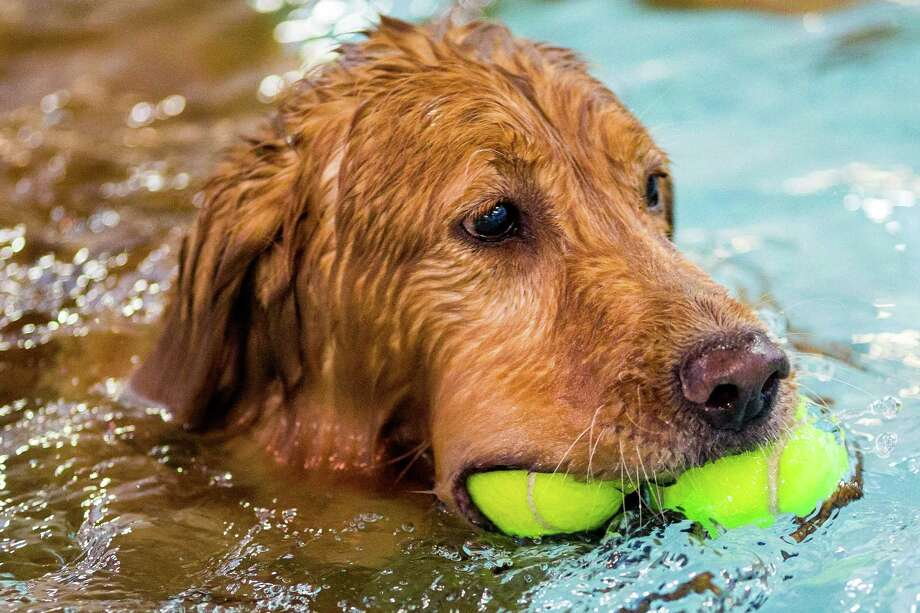 A dog manages two balls in Helene Madison Pool for an open dog swim - no humans allowed - on Sunday, August 17, 2014, in Seattle, Wash. The unlikely event was made possible by the impending pool closure for preventive maintenance. The facility will reopen to the public on September 1, 2014. Photo: JORDAN STEAD, SEATTLEPI.COM / SEATTLEPI.COM