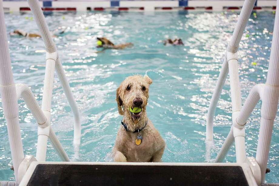 Dozens of canines took to the waters of Helene Madison Pool for an open dog swim - no humans allowed - on Sunday, August 17, 2014, in Seattle, Wash. The unlikely event was made possible by the impending pool closure for preventive maintenance. The facility will reopen to the public on September 1, 2014. Photo: JORDAN STEAD, SEATTLEPI.COM / SEATTLEPI.COM