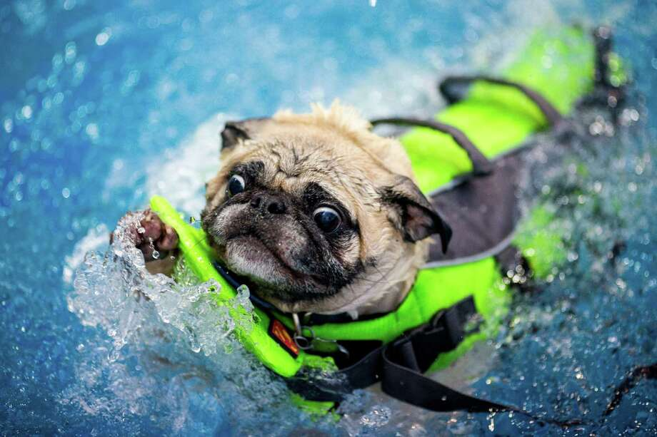 Despite flotation equipment, Oscar the pug struggles to enjoy the merits of the waters of Helene Madison Pool during an open dog swim - with no humans allowed - on Sunday, August 17, 2014, in Seattle, Wash. The unlikely event was made possible by the impending pool closure for preventive maintenance. The facility will reopen to the public on September 1, 2014. Photo: JORDAN STEAD, SEATTLEPI.COM / SEATTLEPI.COM