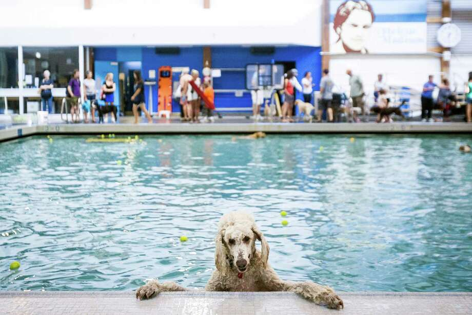 Particularly spooked canines kept paws to the wall, wide-eyed, at Helene Madison Pool during an open dog swim - no humans allowed - on Sunday, August 17, 2014, in Seattle, Wash. The unlikely event was made possible by the impending pool closure for preventive maintenance. The facility will reopen to the public on September 1, 2014. Photo: JORDAN STEAD, SEATTLEPI.COM / SEATTLEPI.COM