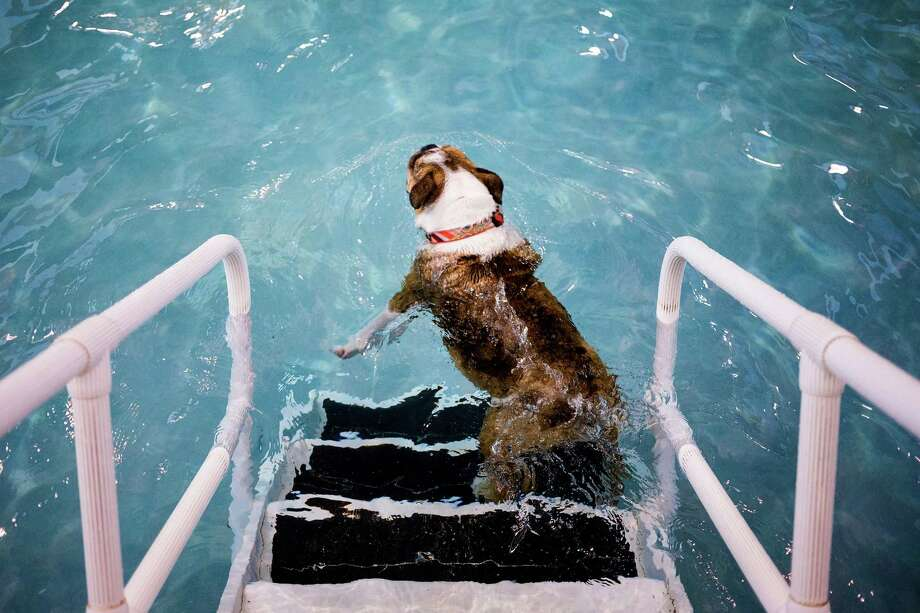 A log-shaped bulldog drifts into the waters of Helene Madison Pool for an open dog swim - no humans allowed - on Sunday, August 17, 2014, in Seattle, Wash. The unlikely event was made possible by the impending pool closure for preventive maintenance. The facility will reopen to the public on September 1, 2014. Photo: JORDAN STEAD, SEATTLEPI.COM / SEATTLEPI.COM