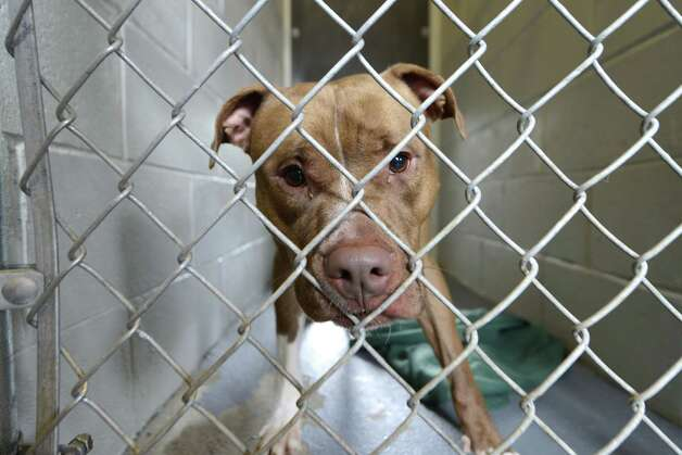 A dog peers out its holding pen Inside Schenectady's animal shelter Tuesday, Aug. 12, 2014, located at the city sewage treatment plant on Technology Dr. in Schenectady, N.Y. The pit bull was being held for a biting incident. (Will Waldron/Times Union) Photo: WW / 00028143A