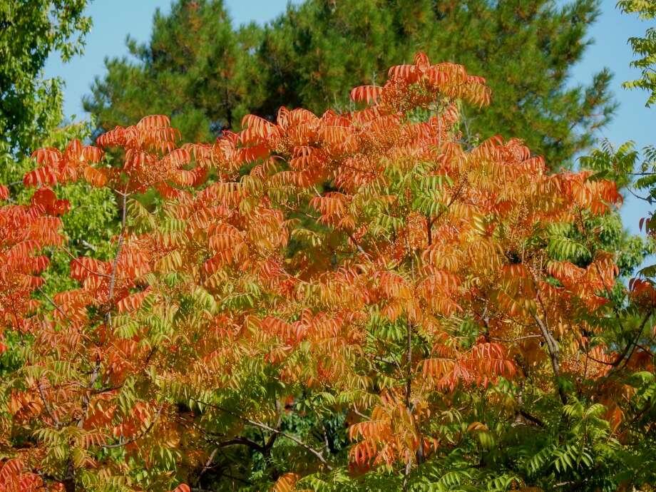 Pistache tree near Walnut Creek turned color last week two months early Photo: Brian Murphy