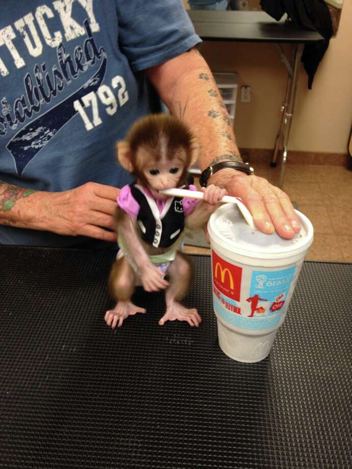Bubbles was bought by Shontelle Porter as a pet at two weeks old from a breeder in McAllen. The now two month old Rhesus monkey is fast becoming an online sensation with over 13,000 fans on her Facebook page following her every move. Photo: Bubbles/Facebook