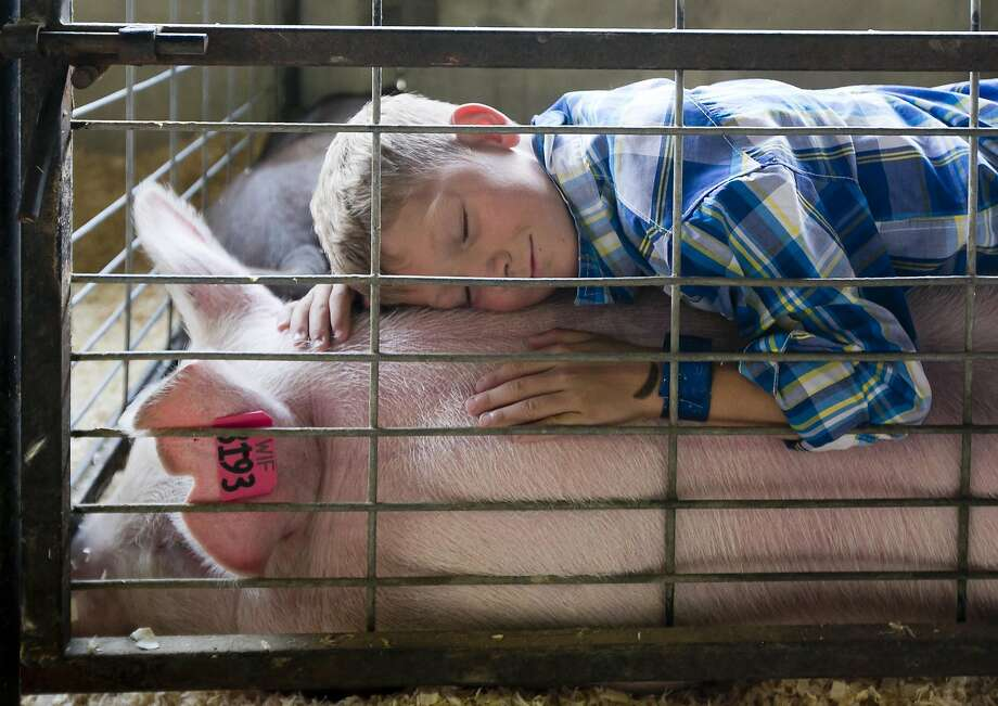 "Cole Newell, 8, of Meridian, Idaho, finds a cozy spot on the back of ""Babe"", Tuesday Aug. 19, 2014 at the Western Idaho Fair in Garden City, Idaho. Tuesday was the day 4-Hers present their swine, goats, sheep and beef cattle at the 4-H/FFA Market Sale. Cole's 250-pound hog sold for $3.25 per pound near the end of the swine auction. He said the money will go into a scholarship account, and maybe someday he can buy a house and car. After raising the hog since last spring, Cole was sad to see his pig go.(AP Photo/The Idaho Statesman, Darin Oswald)  LOCAL TELEVISION OUT (KTVB 7); MANDATORY CREDIT Photo: Darin Oswald, Associated Press"