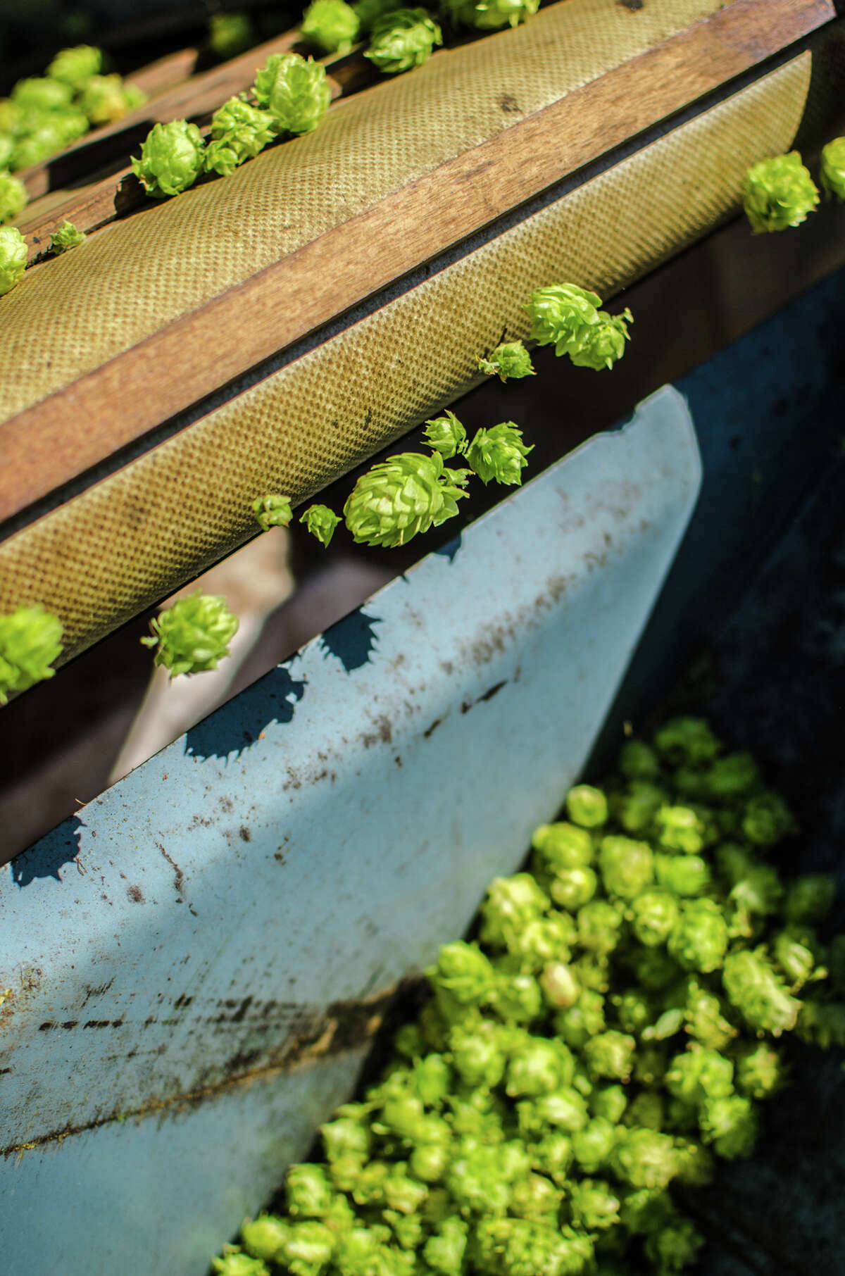 Harvested hops are sent down a series of conveyor belts and the flowers are collected into sacks at Hops-Meister Farm in Clear Lake.