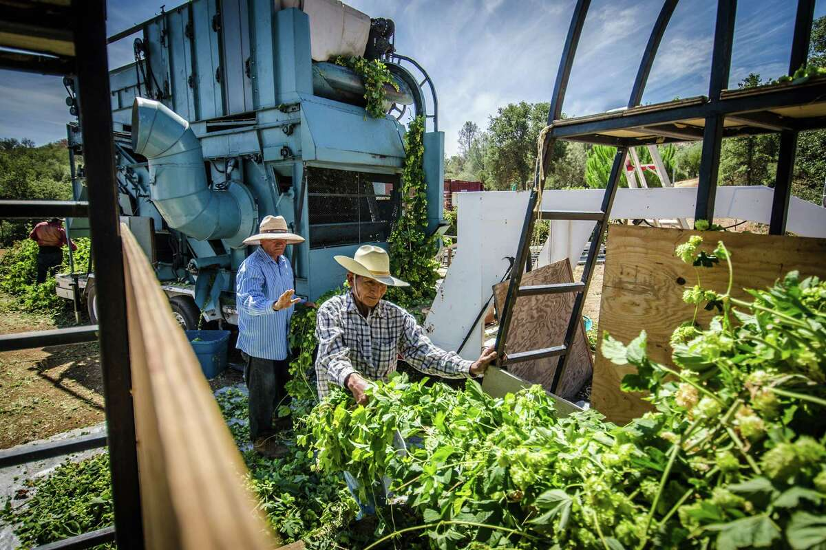 Workers sort harvested hops into a machine for processing at Hops-Meister Farm in Clear Lake.