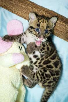 The two fabulously adorable clouded leopard cubs were born at the zoo on June 6.  They are not on public show yet but the two boys have been named Kashi and Senja. Photo: Stephanie Adams, Houston Zoo/Stephanie Adams / © Houston Zoo/Stephanie Adams
