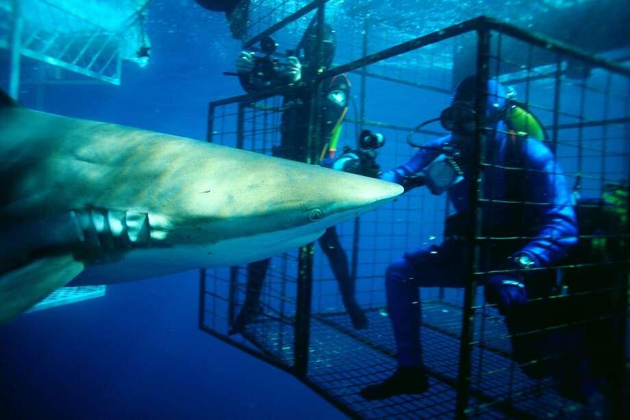 7. Species name: Carcharhinus brachyurusCommon name: Bronze whalerNon-fatal attacks: 19Fatal attacks: 1 Photo: Fleetham Dave, Getty Images