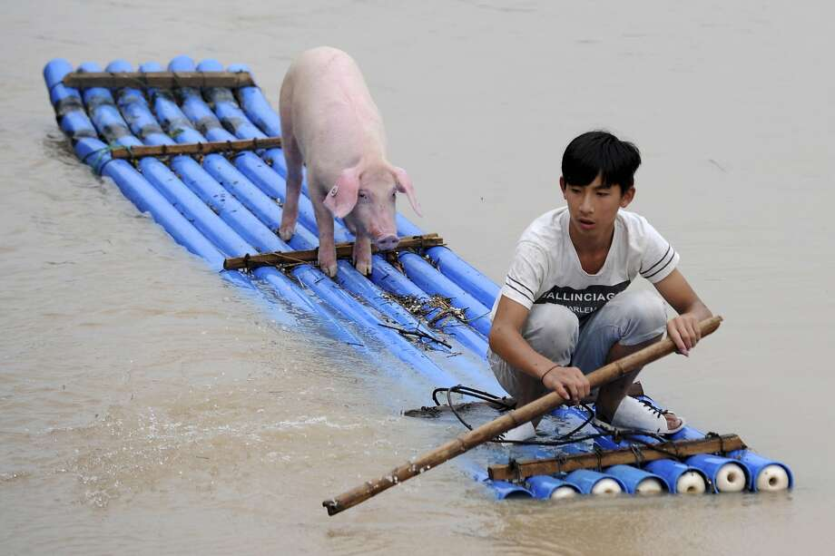 Saving his bacon: A boy evacuates a pig from a flooded village in Lishui, east China's Zhejiang province. Photo: Uncredited, Associated Press