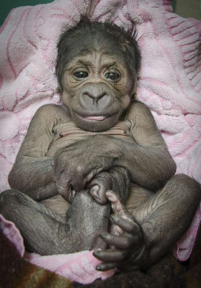 It's a girl-illa!Only 3 days old, the Oklahoma City Zoo's new baby Western lowland gorilla is already grabbing stuff with her feet. Photo: Dr. Jennifer D'Agostino, Associated Press