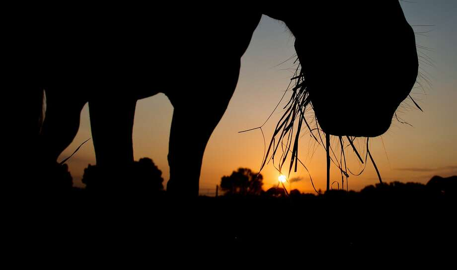 Champing on breakfast: At sunrise in Sehnde, German, a horse enjoys some grass on a paddock. Photo: Julian Stratenschulte, AFP/Getty Images