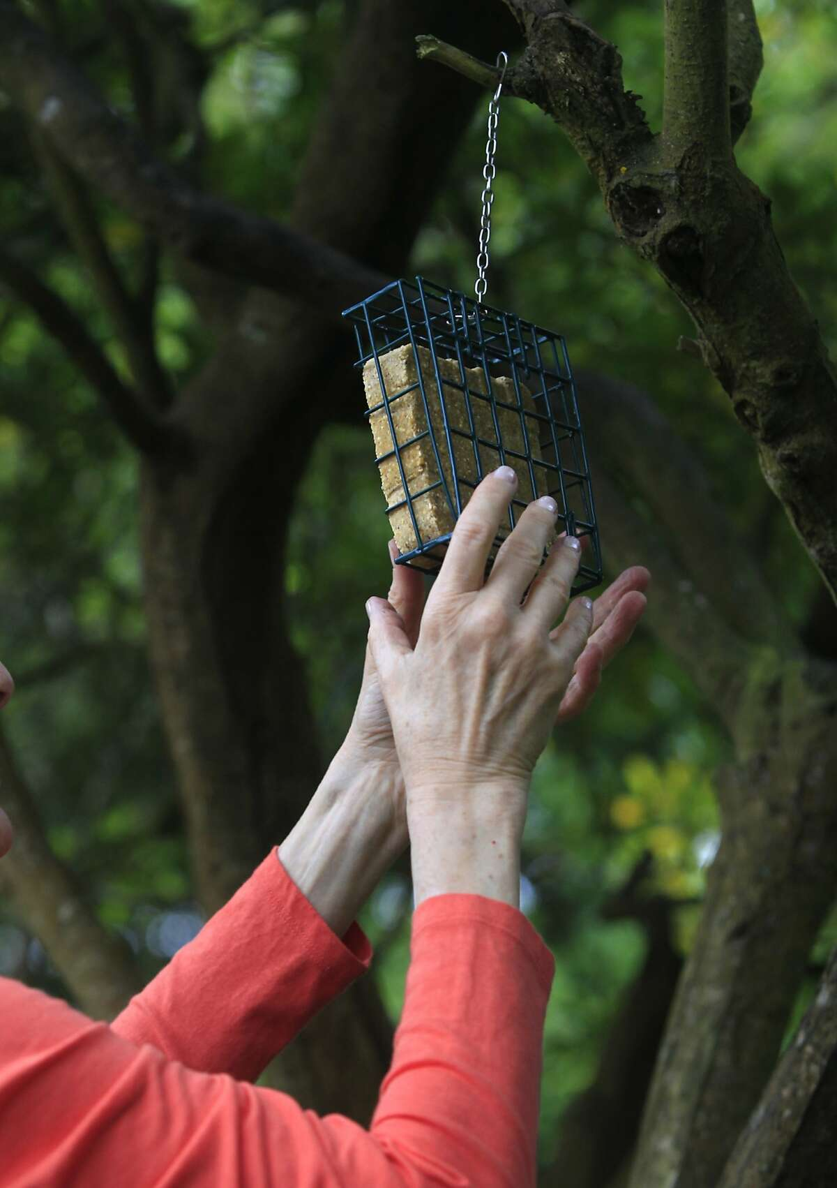 Judith Pynn hangs a suet bird feeder in the backyard of her Sunset District home in San Francisco, Calif. on Wednesday, Aug. 20, 2014. Pynn is among the first residents in the city to sign up for a program designed to curtail bird deaths from collisions with windows in residential buildings after a bird struck a second floor window of her home and died.