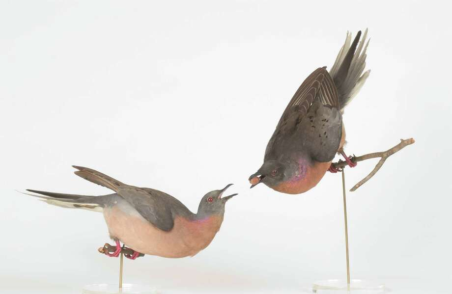 On Sunday, Sept. 7 from 1:30 to 4 p.m., the Bruce Museum will hold ìCentennial of an Extinction: Remembering the Passenger Pigeon,î at the Seaside Center at Greenwich Point Park. Photo: Contributed Photo / Greenwich Time Contributed