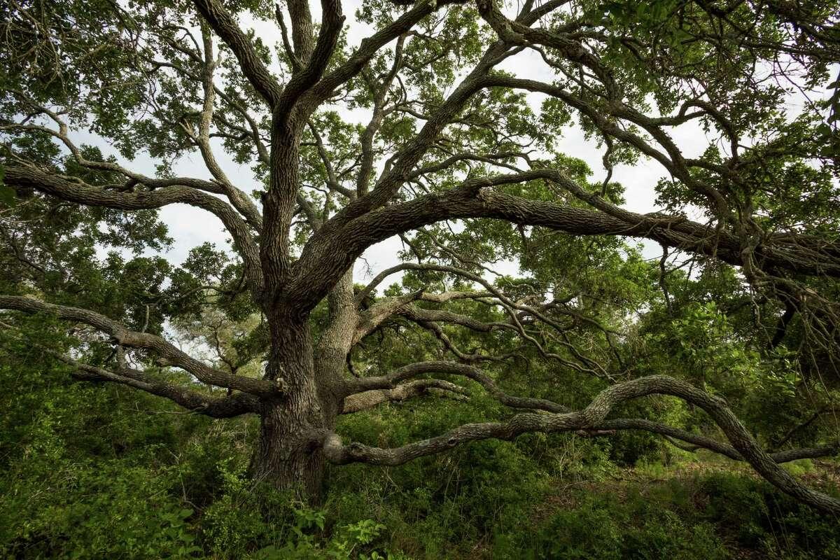 Live Oak on Powderhorn Ranch.