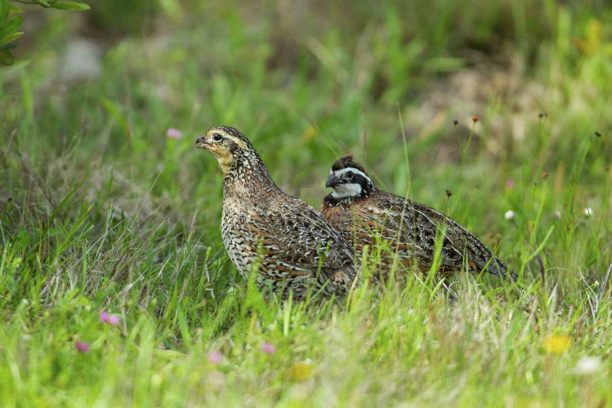 Bobwhite quail, a ground-nesting species that has seen dramatic decline in numbers because of loss of grassland habitat, thrive on Powderhorn Ranch.