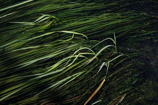 Endangered: Texas wild rice Photo: Lisa Krantz, San Antonio Express-News / @San Antonio Express-News