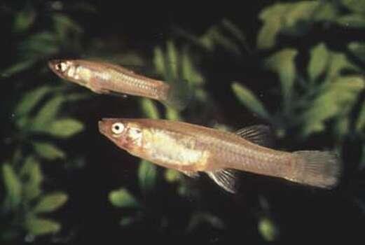Endangered: San Marcos gambusia Photo: Courtesy Photo/Texas Parks & Wildlife