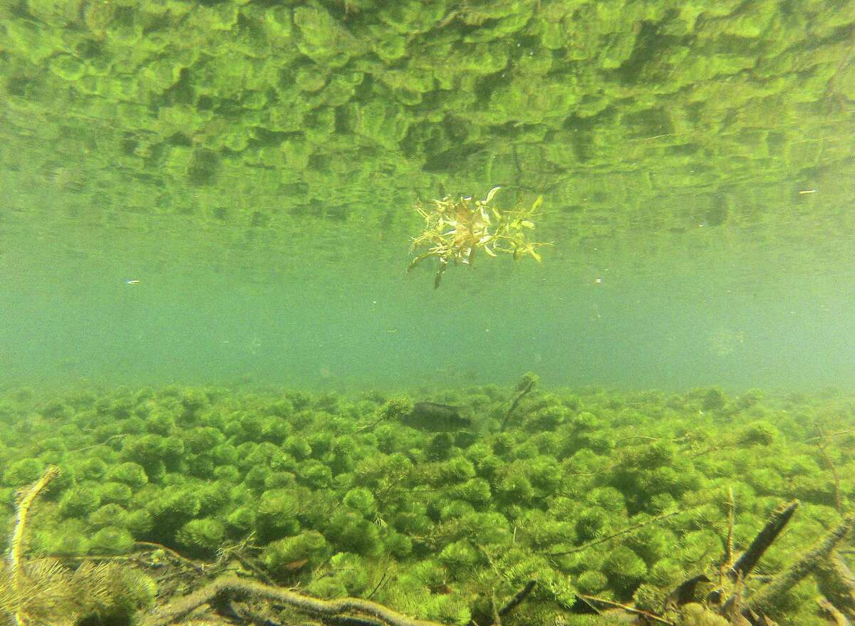 ABOVE: Riccia, a native spongelike plant, grows in the old channel of the Comal River in Landa Park in New Braunfels. The EAA's Bob Hall says fountain darter populations typically run 50 times higher in native vegetation.LEFT: Nicholas (left) and Natalie Carson wade in the old channel of the Comal River in Landa Park. This portion of the channel has had non-native plant species removed.