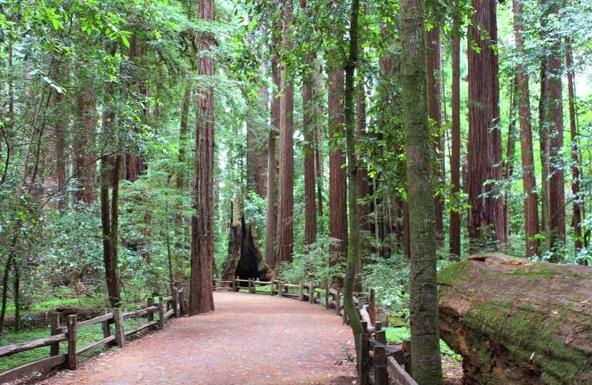 A nature trail at Henry Cowell Redwoods State Park leads through an old-growth stand of redwood tree