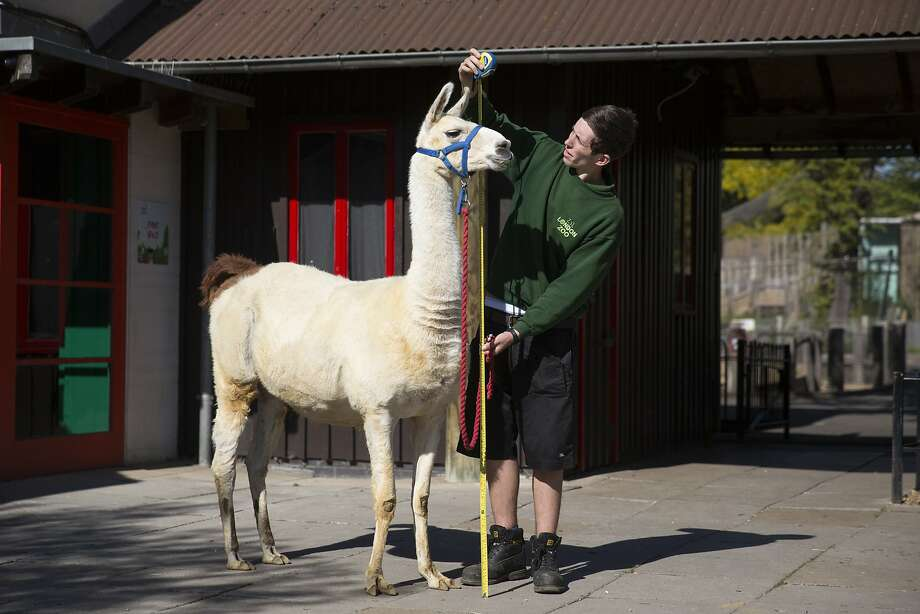 Tale of the tape: Perry the llama stands still as keeper Jack Sargent measures him during the London Zoo's annual weigh-in. At 6 feet tall, Perry is a pretty tall llama. Photo: Oli Scarff, Getty Images
