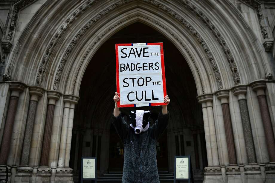 I object! At High Court in London, a demonstrator protests England's badger-culling policy, which is what you might expect of someone dressed as a badger. Photo: Carl Court, AFP/Getty Images