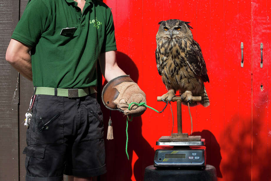 Max, an eagle owl, is weighed at 1.9kg during the annual weight-in ZSL London Zoo on August 21, 2014 in London, England. The height and mass of every animal in the zoo, of which there are over 16,000, is recorded and submitted to the Zoological Information Management System. This is combined with animal measurement data collected from over 800 zoos and aquariums in almost 80 countries, from which zoologists can compare information on thousands of endangered species. Photo: Oli Scarff, Getty Images / 2014 Getty Images