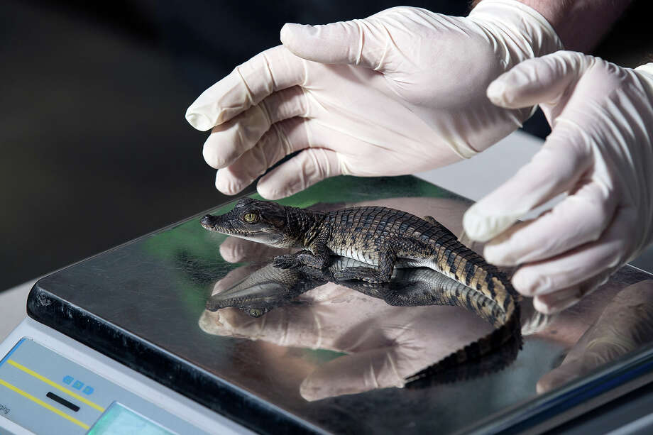 A 7 week-old Philippine crocodile is weighed at 79g during the annual weight-in ZSL London Zoo on August 21, 2014 in London, England. The height and mass of every animal in the zoo, of which there are over 16,000, is recorded and submitted to the Zoological Information Management System. This is combined with animal measurement data collected from over 800 zoos and aquariums in almost 80 countries, from which zoologists can compare information on thousands of endangered species. Photo: Oli Scarff, Getty Images / 2014 Getty Images