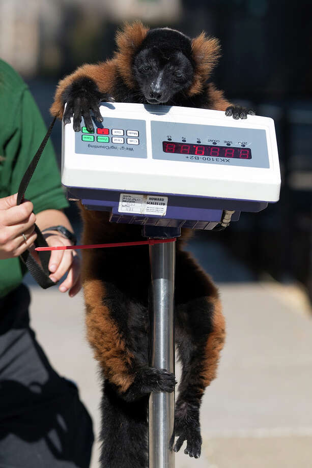 Cid, an red-ruffed lemur, is weighed at 4.34kg during the annual weight-in ZSL London Zoo on August 21, 2014 in London, England. The height and mass of every animal in the zoo, of which there are over 16,000, is recorded and submitted to the Zoological Information Management System. This is combined with animal measurement data collected from over 800 zoos and aquariums in almost 80 countries, from which zoologists can compare information on thousands of endangered species. Photo: Oli Scarff, Getty Images / 2014 Getty Images