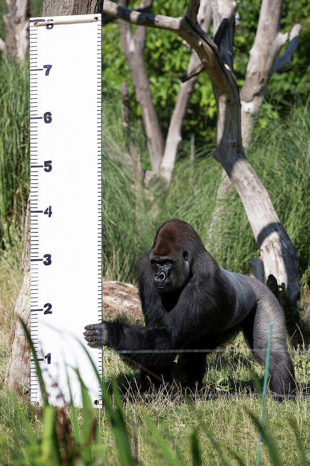 Kumbuka, a Silverback Western Lowland Gorilla, is measured at 7ft during the annual weight-in ZSL London Zoo on August 21, 2014 in London, England. The height and mass of every animal in the zoo, of which there are over 16,000, is recorded and submitted to the Zoological Information Management System. This is combined with animal measurement data collected from over 800 zoos and aquariums in almost 80 countries, from which zoologists can compare information on thousands of endangered species. Photo: Oli Scarff, Getty Images / 2014 Getty Images