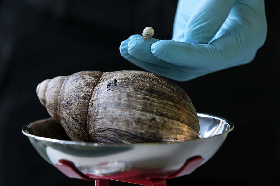 A Partula snail weighting 1mg is held next to an African Land Snail weighing 480kg during the annual weight-in ZSL London Zoo on August 21, 2014 in London, England. The height and mass of every animal in the zoo, of which there are over 16,000, is recorded and submitted to the Zoological Information Management System. This is combined with animal measurement data collected from over 800 zoos and aquariums in almost 80 countries, from which zoologists can compare information on thousands of endangered species. Photo: Oli Scarff, Getty Images / 2014 Getty Images