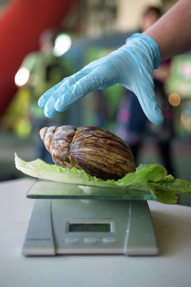 An African land snail is weighed at 480kg during the annual weight-in ZSL London Zoo on August 21, 2014 in London, England. The height and mass of every animal in the zoo, of which there are over 16,000, is recorded and submitted to the Zoological Information Management System. This is combined with animal measurement data collected from over 800 zoos and aquariums in almost 80 countries, from which zoologists can compare information on thousands of endangered species. Photo: Oli Scarff, Getty Images / 2014 Getty Images