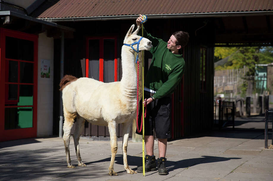 Keeper Jack Sargent measures Perry, a 6ft llama, during the annual weight-in ZSL London Zoo on August 21, 2014 in London, England. The height and mass of every animal in the zoo, of which there are over 16,000, is recorded and submitted to the Zoological Information Management System. This is combined with animal measurement data collected from over 800 zoos and aquariums in almost 80 countries, from which zoologists can compare information on thousands of endangered species. Photo: Oli Scarff, Getty Images / 2014 Getty Images
