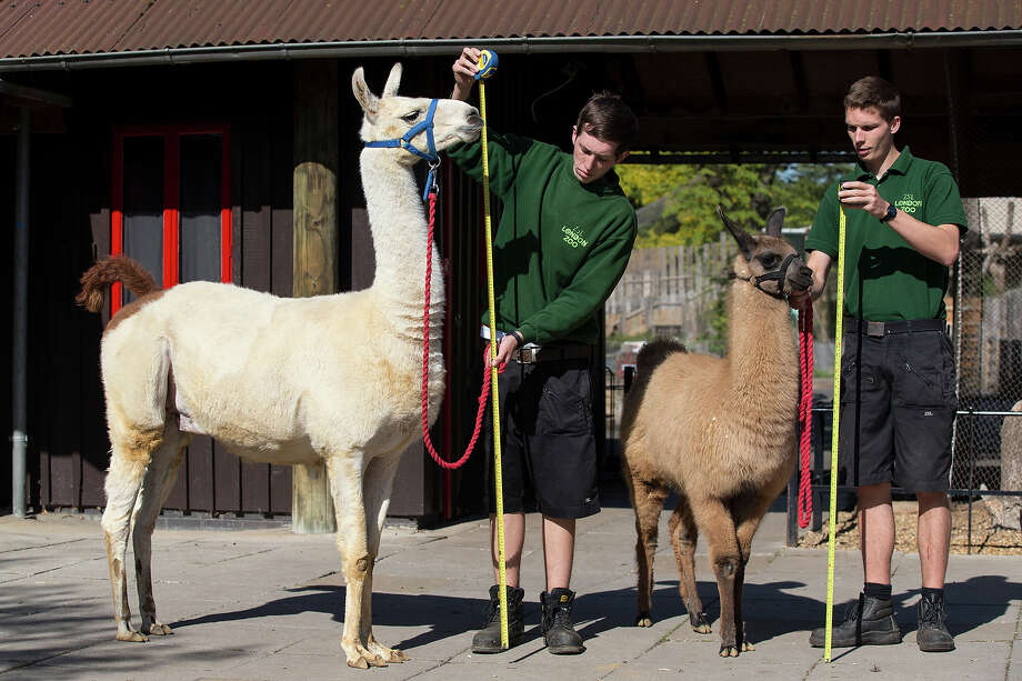 Keepers Jack Sargent (L) and Adam Davies measure Perry, a 6ft llama, and Mocha, a 4 month-old llama at 140cm, during the annual weight-in ZSL London Zoo on August 21, 2014 in London, England. The height and mass of every animal in the zoo, of which there are over 16,000, is recorded and submitted to the Zoological Information Management System. This is combined with animal measurement data collected from over 800 zoos and aquariums in almost 80 countries, from which zoologists can compare information on thousands of endangered species. Photo: Oli Scarff, Getty Images / 2014 Getty Images