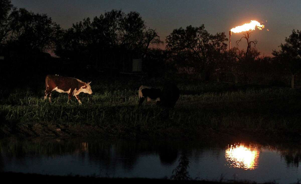 Cattle roam next to a pond at dusk as a flare burns natural gas in Karnes County.