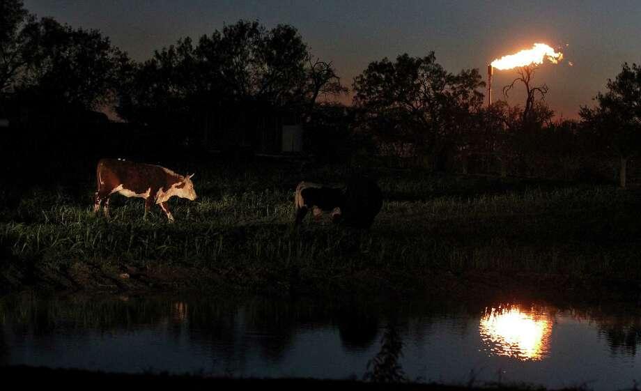 Cattle roam next to a pond at dusk as a flare burns natural gas in Karnes County. Photo: Kin Man Hui, San Antonio Express-News / ©2014 San Antonio Express-News
