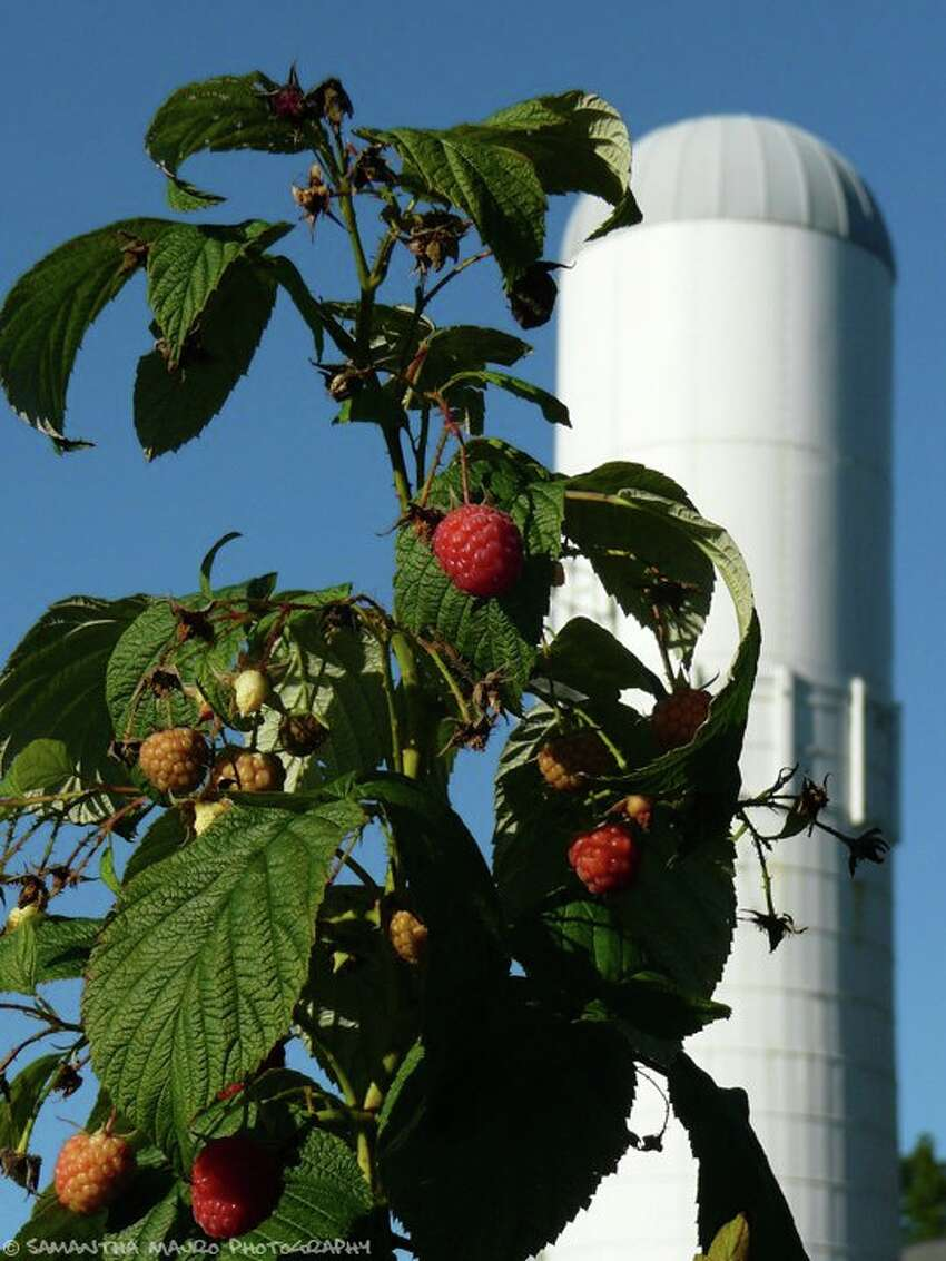 7th Annual Blackberry Festival When: August 18 Where: White Solo Farm & Winery; Sherman Find out more.