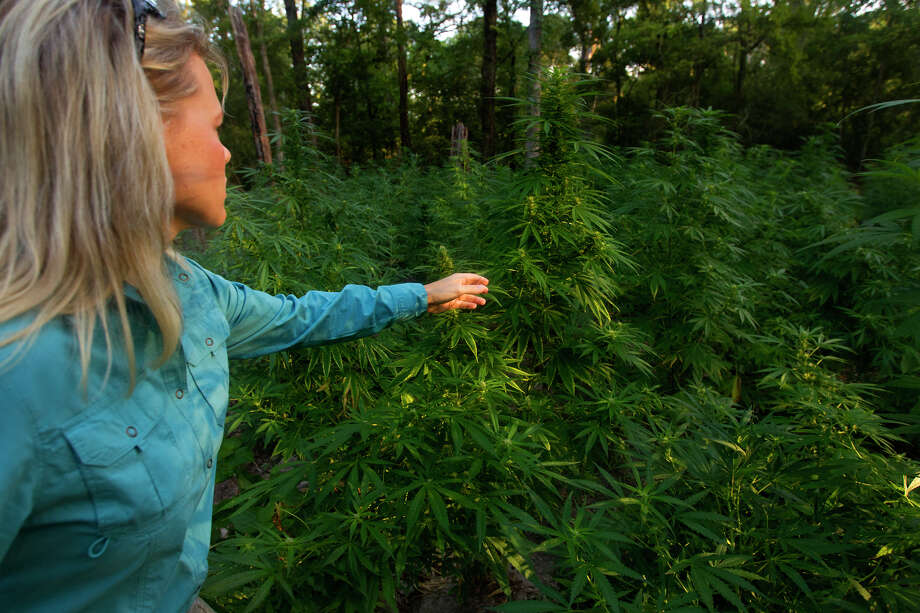 A Conroe Police Department officer stands amongst 10,000 to 20,000 Marijuana plants in Conroe that were later cut down. Photo: Cody Duty, Staff / © 2013 Houston Chronicle