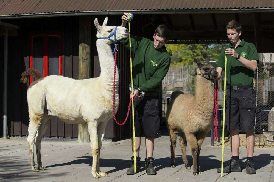 Keepers Jack Sargent, left, and Adam Davies measure Perry, a 6ft llama, and Mocha, a 4 month-old llama at 140cm, during the annual weight-in ZSL London Zoo on August 21, 2014 in London, England. Photo: Oli Scarff, Getty Images / 2014 Getty Images