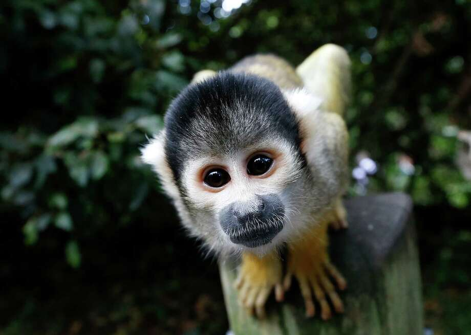 A squirrel monkey looks into the camera during a photocall at London Zoo, Thursday, Aug. 21, 2014. The Zoo held it's annual weigh-in where the vital statistics of animals were taken in an aid for keepers to detect pregnancies and check the animals general wellbeing.  Photo: Kirsty Wigglesworth, Associated Press / AP