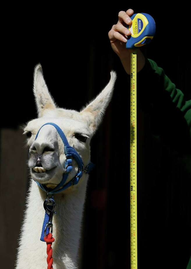 A keeper measures Perry the Llama during a photocall at London Zoo, Thursday, Aug. 21, 2014. The Zoo held it's annual weigh-in where the vital statistics of animals were taken in an aid for keepers to detect pregnancies and check the animals general wellbeing. Photo: Kirsty Wigglesworth, Associated Press / AP