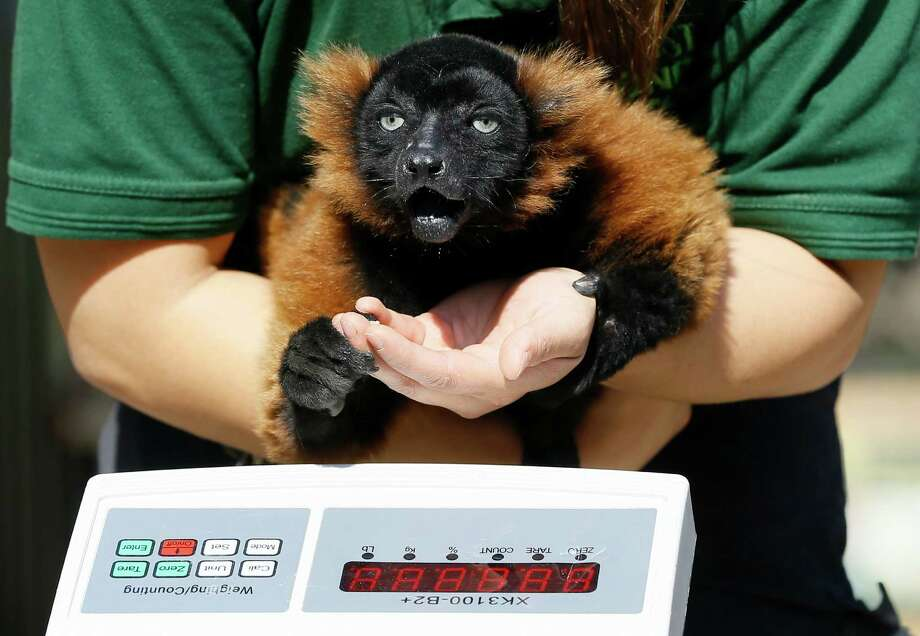 A keeper attempts to weigh Cid, a Red Ruffed Lemur during a photocall at London Zoo, Thursday, Aug. 21, 2014.  Photo: Kirsty Wigglesworth, Associated Press / AP